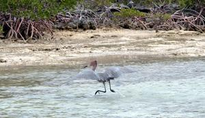 big_040219-Bahamas-Abaco-bird-DB.html